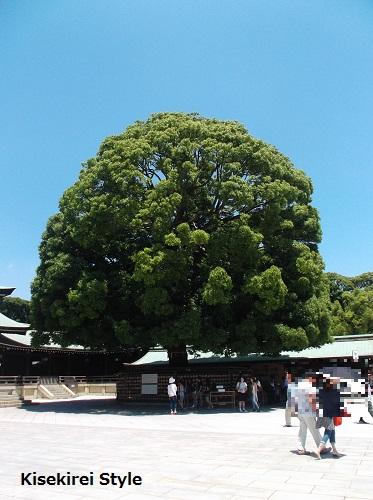 明治神宮楠の木